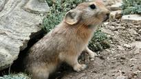 Researchers discover new species of pika in Sikkim