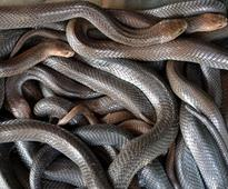 Watch: Over 100 deadly snakes seized from house in Pune