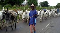 Frustrate Fulani Herdsmen From South-east By Refusing To Buy Their Cows  Can Youths