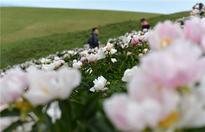 Summer scenery of Xilingol Grassland