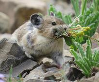 Adorable American Pika Is Fast Disappearing, And We're Doing Nothing To Stop It