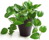Facts To Know About Money Plant