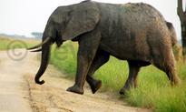 Elephant electrocuted in Queen Elizabeth National Park