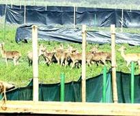 Eastern swamp deer translocated to Manas