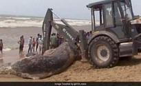 32-foot whale found dead on Odisha beach. How it was moved
