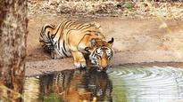 In Mowgli land, BJP govt plans to cut over 550 trees for tiger safari