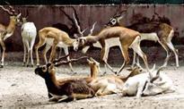 Soon, 17 new rescue wards for antelopes in Jodhpur