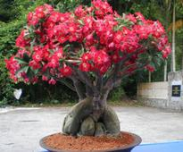 Growing N Caring Tips For Homemade Bonsai