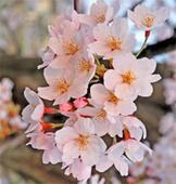 Cherry Blossom fest begins in Meghalaya