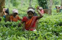 Tata Beverages to study impact of climate change on Assam tea production