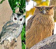 Owls from Assam trafficked to Delhi for sacrifice during Diwali