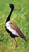 Concern over move to set up college at Bengal florican habitat