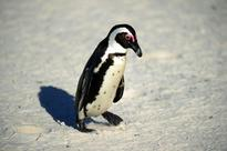 Two accused in S. African court for 'freeing' endangered penguin
