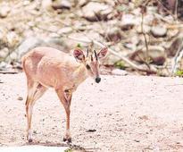 Elusive antelope trail in Saranda