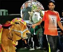 Cricket fever weds cow worship