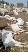 29 heads of cattle electrocuted