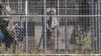 What caused the string of baboon deaths inside the secret breeding colony at Wallacia?