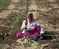 Maharashtra's sugar output drops as mills close early