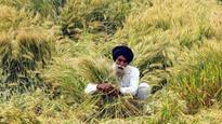 Farmers preferring disease-prone wheat variety in Haryana, Punjab
