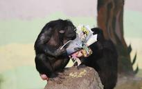 Photos Of Chimpanzees Reading Novel In A Chinese Zoo