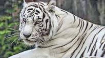 White tiger from Chennai forces Rajasthan zookeepers to learn Tamil