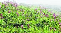 New species of flower bloom in UkhrulJuly 18, 2016