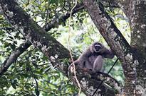 News Javan Gibbon released to natural habitat