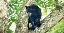 Black panthers face threat of road kill in UK district