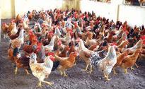 Chicken price less in Kerala than Tamil Nadu, egg price rises