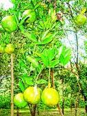 Diseases hit orange yield