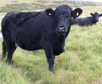 German farmers in pre-Brexit deal with Welsh cattle breeders