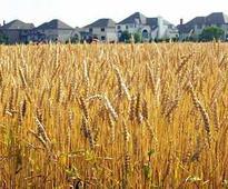 43 lakh tonnes wheat procured in Haryana