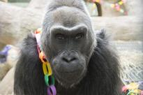 Colo, oldest gorilla in the United States, dies at Columbus Zoo