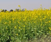 GM mustard set to get approval from GEAC, to become first food crop to get nod
